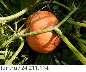 Купить «Выращивание тыквы в открытом грунте на дачном участке», эксклюзивное фото № 24211114, снято 20 августа 2016 г. (c) lana1501 / Фотобанк Лори