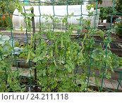 Купить «Выращивание гороха на дачном участке», эксклюзивное фото № 24211118, снято 20 августа 2016 г. (c) lana1501 / Фотобанк Лори