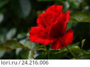 Роза чайно-гибридная Кэррис (лат. Carris), Harkness. Стоковое фото, фотограф lana1501 / Фотобанк Лори