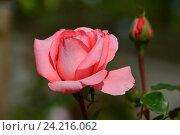 Роза чайно-гибридная Артур Рембо (лат. Arthur Rimbaud), Meilland. Стоковое фото, фотограф lana1501 / Фотобанк Лори