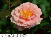 Купить «Роза чайно-гибридная Кингс Макк (лат. Kings Macc), Fryer», эксклюзивное фото № 24216074, снято 17 июля 2015 г. (c) lana1501 / Фотобанк Лори