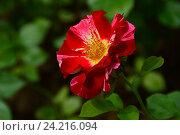 Купить «Роза флорибунда Крэйзи фо Ю (лат. Crazy for You)», эксклюзивное фото № 24216094, снято 17 июля 2015 г. (c) lana1501 / Фотобанк Лори