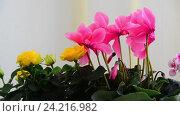 Купить «Beautiful flowers of cyclamen, rose and geranium», видеоролик № 24216982, снято 14 ноября 2016 г. (c) Володина Ольга / Фотобанк Лори
