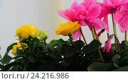 Купить «Beautiful flowers of cyclamen, rose and geranium», видеоролик № 24216986, снято 14 ноября 2016 г. (c) Володина Ольга / Фотобанк Лори