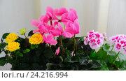 Купить «Beautiful flowers of cyclamen, rose and geranium», видеоролик № 24216994, снято 14 ноября 2016 г. (c) Володина Ольга / Фотобанк Лори