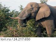 Самец слона с бивнями ест акацию (2010 год). Стоковое фото, фотограф Олег Елагин / Фотобанк Лори
