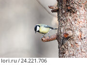 Купить «Синица большая. Great Tit (Parus major).», фото № 24221706, снято 1 марта 2014 г. (c) Василий Вишневский / Фотобанк Лори