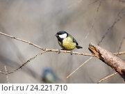 Купить «Синица большая. Great Tit (Parus major).», фото № 24221710, снято 1 марта 2014 г. (c) Василий Вишневский / Фотобанк Лори