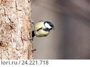 Купить «Синица большая. Great Tit (Parus major).», фото № 24221718, снято 1 марта 2014 г. (c) Василий Вишневский / Фотобанк Лори