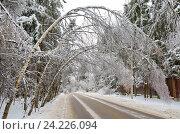 Купить «Березки склонились над дорогой после ледяного дождя», фото № 24226094, снято 13 ноября 2016 г. (c) Елена Коромыслова / Фотобанк Лори