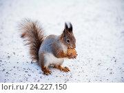 Купить «Рыжая белка с орехом», фото № 24227150, снято 6 ноября 2016 г. (c) Литвяк Игорь / Фотобанк Лори