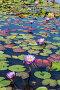 Flowers purple lotuses in the pond close-up, фото № 24231706, снято 6 ноября 2016 г. (c) Наталья Волкова / Фотобанк Лори