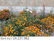 Купить «Осенний цветник на даче», эксклюзивное фото № 24231982, снято 30 сентября 2016 г. (c) Ирина Водяник / Фотобанк Лори