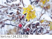 Купить «Ледяной дождь. Листья и ягоды шиповника с сосульками. Зимний фон», фото № 24232150, снято 11 ноября 2016 г. (c) Татьяна Белова / Фотобанк Лори