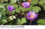 Купить «Три цветка сиреневых лотоса в пруду», видеоролик № 24233006, снято 2 ноября 2016 г. (c) Наталья Волкова / Фотобанк Лори