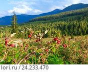 Купить «Wild raspberries and summer Carpathians.», фото № 24233470, снято 20 августа 2016 г. (c) Юрий Брыкайло / Фотобанк Лори