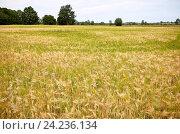 Купить «cereal field with spikelets of ripe rye or wheat», фото № 24236134, снято 28 июля 2016 г. (c) Syda Productions / Фотобанк Лори