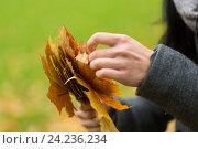 Купить «close up of woman hands with autumn maple leaves», фото № 24236234, снято 12 октября 2016 г. (c) Syda Productions / Фотобанк Лори
