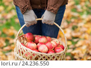 Купить «close up of woman with apples in basket at autumn», фото № 24236550, снято 12 октября 2016 г. (c) Syda Productions / Фотобанк Лори