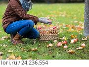 Купить «woman with basket picking apples at autumn garden», фото № 24236554, снято 12 октября 2016 г. (c) Syda Productions / Фотобанк Лори