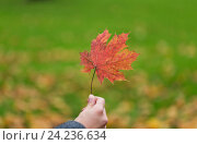 Купить «close up of woman hands with autumn maple leaves», фото № 24236634, снято 12 октября 2016 г. (c) Syda Productions / Фотобанк Лори