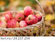 Купить «wicker basket of ripe red apples at autumn garden», фото № 24237254, снято 12 октября 2016 г. (c) Syda Productions / Фотобанк Лори