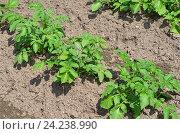 Купить «Кусты картофеля на грядке», эксклюзивное фото № 24238990, снято 18 июня 2016 г. (c) Елена Коромыслова / Фотобанк Лори