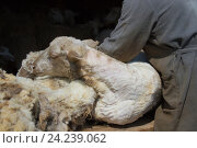 Купить «Стрижка овцы», фото № 24239062, снято 13 июня 2016 г. (c) Ален Лагута / Фотобанк Лори
