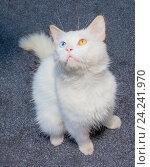 Белый кот с разным цветом глаз (гетерохромией) Стоковое фото, фотограф Сергей Васильев / Фотобанк Лори