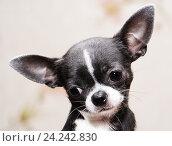 Портрет грустной собачки породы чихуахуа. Стоковое фото, фотограф Ольга Летто / Фотобанк Лори