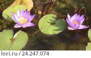 Купить «Два цветка сиреневых лотоса в пруду», видеоролик № 24247074, снято 2 ноября 2016 г. (c) Наталья Волкова / Фотобанк Лори