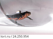 Тритон в аквариуме. Стоковое фото, фотограф Александр Владимирович / Фотобанк Лори