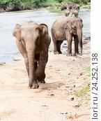 Купить «Азиатские слоны на берегу реки идут», фото № 24252138, снято 2 ноября 2009 г. (c) Эдуард Паравян / Фотобанк Лори