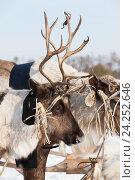 Купить «Reindeer in harness», фото № 24252646, снято 25 февраля 2012 г. (c) Владимир Мельников / Фотобанк Лори