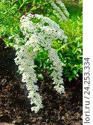 Купить «Свисающая ветка цветущей Спиреи серой Graciosa (лат. Spiraéa ×cinérea)», фото № 24253334, снято 11 мая 2014 г. (c) Зобков Георгий / Фотобанк Лори