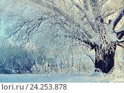 Купить «Зимний заснеженный лес с деревьями в инее - зимний рассветный  пейзаж», фото № 24253878, снято 11 января 2010 г. (c) Зезелина Марина / Фотобанк Лори