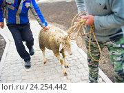 Купить «Мужчины ведут на верёвке ритуальную жертвенную овцу для мусульманского праздника Ид аль Адха», фото № 24254442, снято 15 сентября 2016 г. (c) Наталья Дексбах / Фотобанк Лори