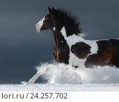 Купить «Жеребец пятнистой масти скачет по снегу», фото № 24257702, снято 8 февраля 2015 г. (c) Абрамова Ксения / Фотобанк Лори