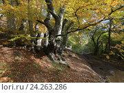 Купить «Осенний лес», эксклюзивное фото № 24263286, снято 20 октября 2016 г. (c) Яна Королёва / Фотобанк Лори