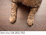 Купить «Две лапы кошки», фото № 24263702, снято 19 ноября 2016 г. (c) Наталья Двухимённая / Фотобанк Лори