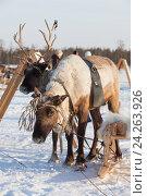 Купить «Оленья упряжка зимой», фото № 24263926, снято 25 февраля 2012 г. (c) Владимир Мельников / Фотобанк Лори