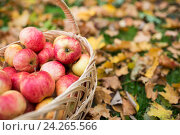 wicker basket of ripe red apples at autumn garden. Стоковое фото, фотограф Syda Productions / Фотобанк Лори