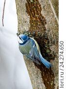 Лазоревка обыкновенная. Blue tit (Parus caeruleus). Стоковое фото, фотограф Василий Вишневский / Фотобанк Лори