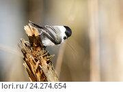 Купить «Гаичка буроголовая. Willow Tit (Parus montanus, Parus atricapillus).», фото № 24274654, снято 27 марта 2016 г. (c) Василий Вишневский / Фотобанк Лори