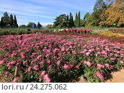 Купить «Цветущие хризантемы в Никитском ботаническом саду. Крым», эксклюзивное фото № 24275062, снято 24 октября 2016 г. (c) Яна Королёва / Фотобанк Лори