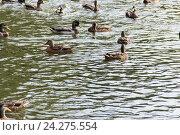 Водоплавающие птицы: белые, серые, чёрные лебеди, утки. Стоковое фото, фотограф Алексей Костенко / Фотобанк Лори