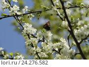 Бабочка не ветке цветущей сливы. Стоковое фото, фотограф Ирина Садовская / Фотобанк Лори