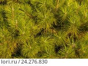 Купить «Фон. Зелёные еловые ветки», фото № 24276830, снято 25 сентября 2016 г. (c) Литвяк Игорь / Фотобанк Лори