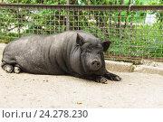 Купить «Взрослая карликовая домашняя свинья (лат. Sus scrofa) или мини-пиг черного окраса», фото № 24278230, снято 9 июня 2016 г. (c) Наталья Гармашева / Фотобанк Лори
