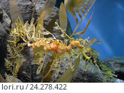 Купить «Забавный морской конек под водой. Морской конек Дракон», фото № 24278422, снято 28 января 2013 г. (c) Алексей Кокоулин / Фотобанк Лори